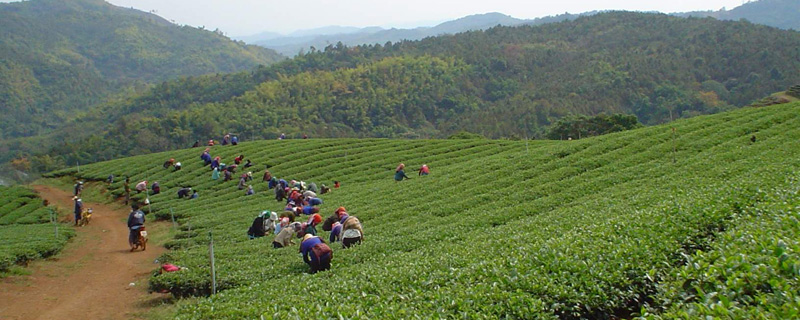Teeplantage-Thailand